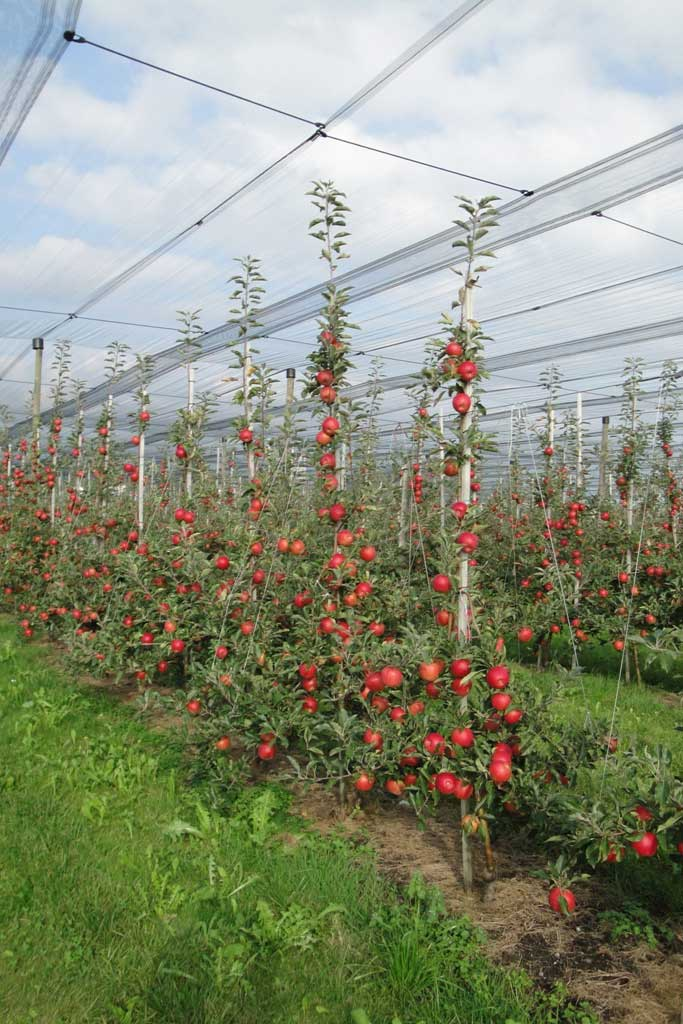 Low-growing plantations for Braeburn apples in Riedt/Erlen © Bruno Hugentobler, 2009